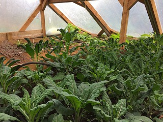 Thriving winter veg in the green house